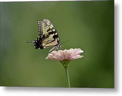 Metal Print featuring the photograph Butterfly On Zinnia by Wanda Krack