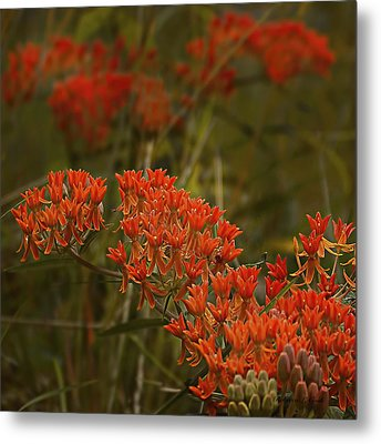 Butterfly Weed Asclepias Tuberosa Metal Print by Bellesouth Studio
