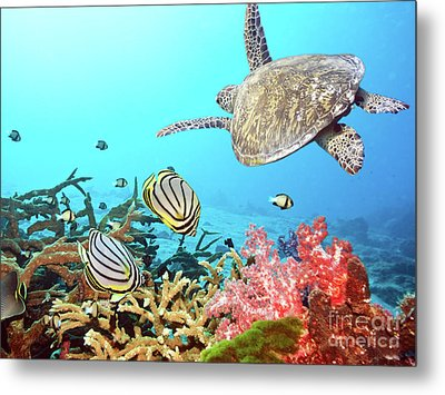 Butterflyfishes And Turtle Metal Print