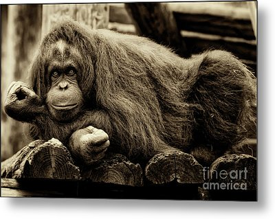 Bw Orangutan Metal Print by Stephanie Hayes