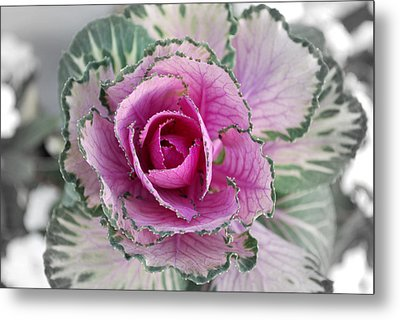 Cabbage  Flower Metal Print by Terence Davis