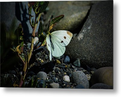Metal Print featuring the photograph Cabbage White Butterfly by Tikvah's Hope
