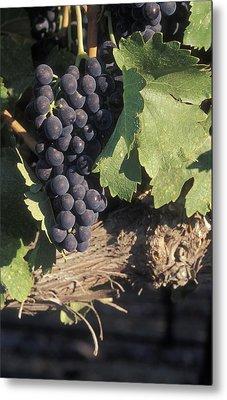 Cabernet Grapes On The Vine In Santa Metal Print by Rich Reid