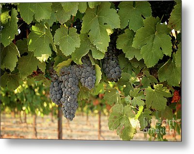 Cabernet Grapes One Metal Print by Brooke Roby