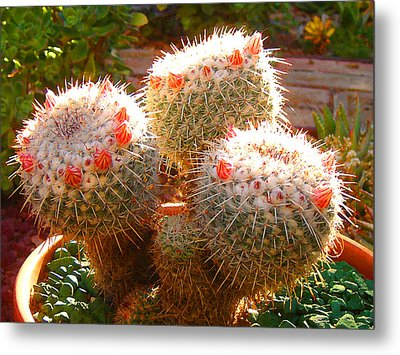 Cactus Buds Metal Print by Amy Vangsgard