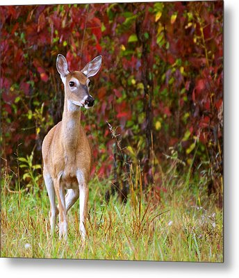 Cades Cove Doe Metal Print