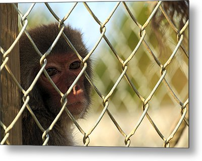 Caged Monkey Metal Print