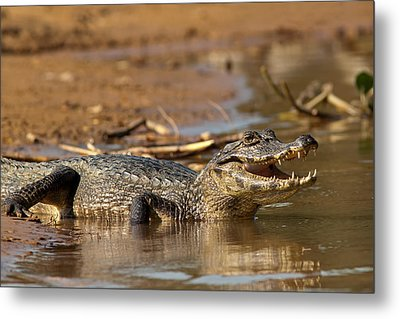 Caiman With Open Mouth Metal Print by Aivar Mikko