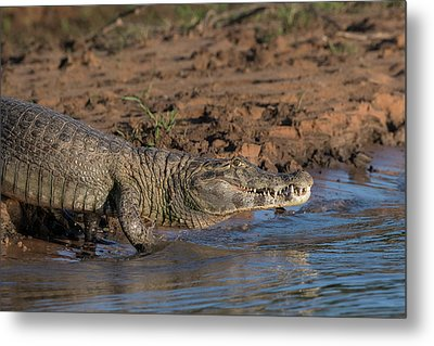 Metal Print featuring the photograph Caiman by Wade Aiken