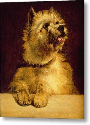 Cairn Terrier   Metal Print by George Earl