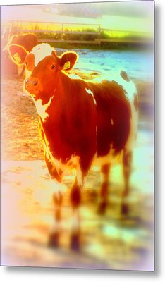 This Calf Has A Hope For A Long And Happy Life But How And When Will It End   Metal Print