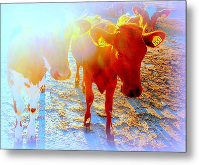 Freedom For The Calfs  Metal Print