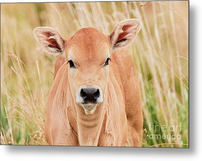 Calf In The High Grass Metal Print by Nick Biemans