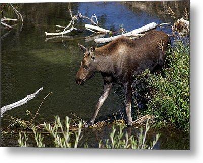 Calf Moose Metal Print by Marty Koch
