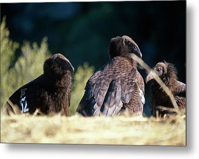 California Condors Metal Print by Soli Deo Gloria Wilderness And Wildlife Photography