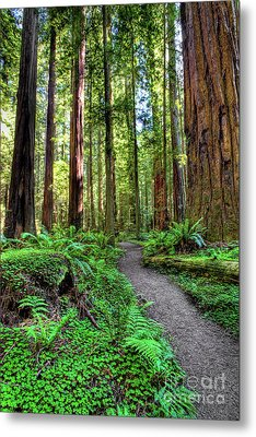 California Ferns Redwoods And Hiking Path Metal Print