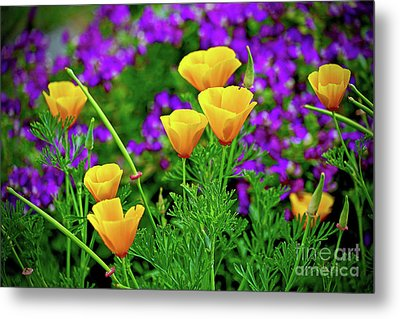 California Poppies Metal Print by Michael Cinnamond