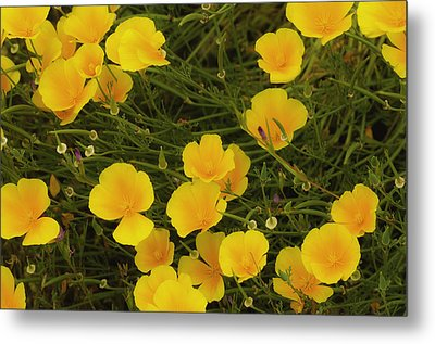 California Poppies Metal Print by Sherri Meyer