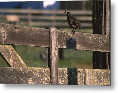 California Quail - Pierce Ranch Metal Print
