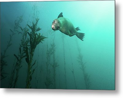 California Sea Lion In Kelp Metal Print by Steven Trainoff Ph.D.
