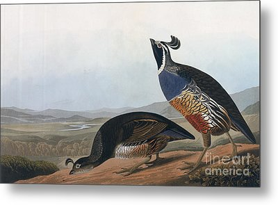 Californian Partridge Metal Print by John James Audubon