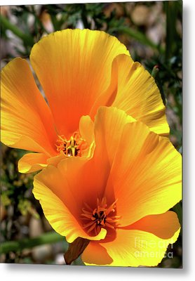 Metal Print featuring the photograph Californian Poppy by Baggieoldboy