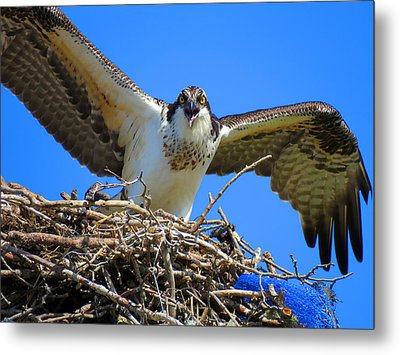 Call Of The Osprey Metal Print by Dianne Cowen