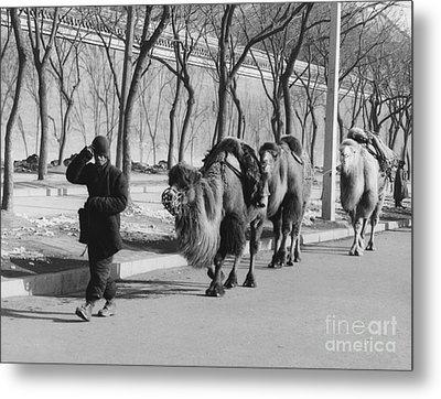 Camel Caravan, China 1957 Metal Print