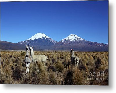 Camelids And The Payachatas Volcanos Bolivia Metal Print by James Brunker