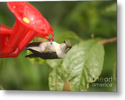 Can I Help You Hummingbird  Metal Print by Cathy  Beharriell