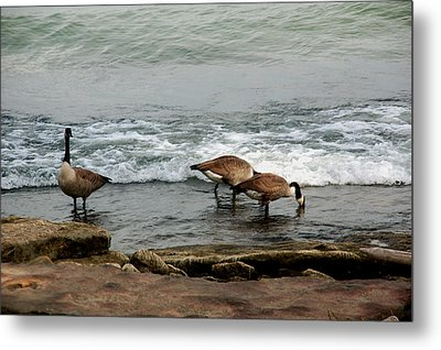 Metal Print featuring the photograph Canada Geese Feeding by Kathleen Stephens