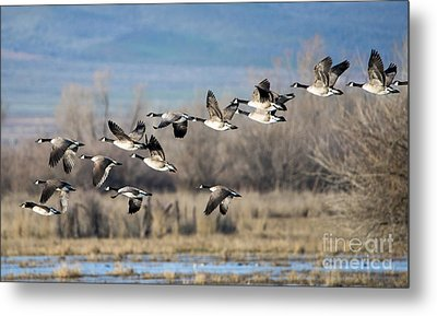 Canada  Geese Flock Metal Print by Mike Dawson