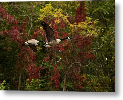Metal Print featuring the photograph Canada Geese In Autumn by Angel Cher
