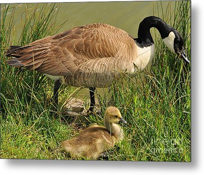 Canada Geese Parent And Child  Metal Print by Merrimon Crawford
