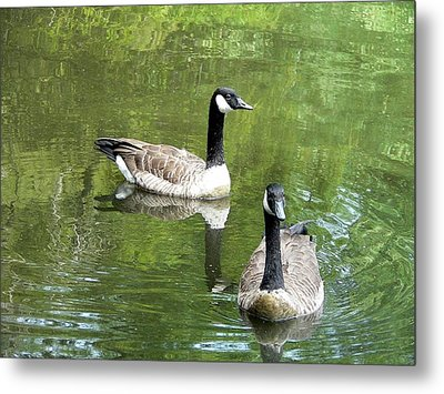 Canada Goose Duo Metal Print by Al Powell Photography USA