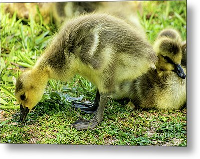 Canada Goose Gosling Metal Print by Gary Whitton