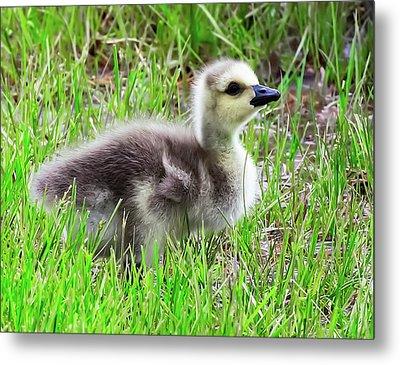 Canada Goose Gosling Metal Print