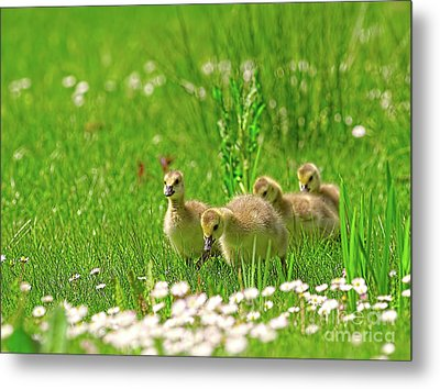 Metal Print featuring the photograph Canada Goose Goslings In A Field Of Daisies by Sharon Talson