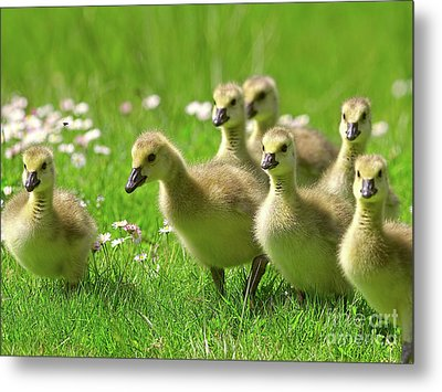 Metal Print featuring the photograph Canada Goose Goslings by Sharon Talson