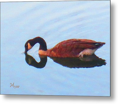 Canada Goose On Clear Lake Metal Print