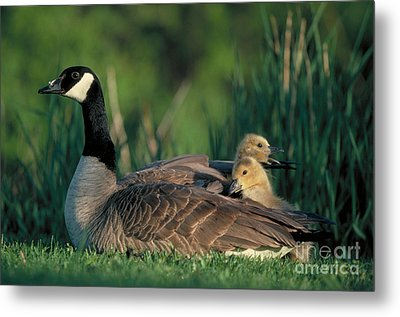Canada Goose With Goslings Metal Print by Alan and Sandy Carey and Photo Researchers