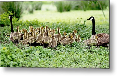 Metal Print featuring the photograph Canada Gosling Daycare by Rona Black