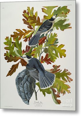 Canada Jay Metal Print by John James Audubon