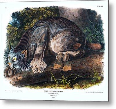 Canada Lynx Antique Print Audubon Quadrupeds Of North America Plate 16 Metal Print by Orchard Arts