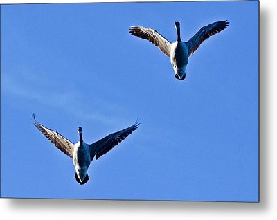 Canadian Geese 1644 Metal Print by Michael Peychich