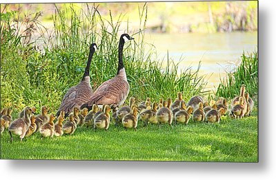 Canadian Geese Family Metal Print by Jennie Marie Schell