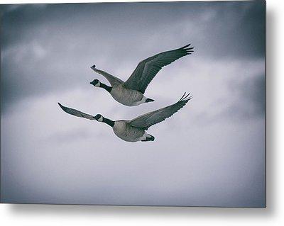 Canadian Geese In Flight Metal Print