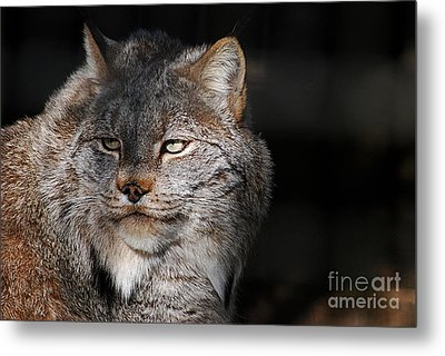 Metal Print featuring the photograph Canadian Lynx  20130107_57 by Tina Hopkins