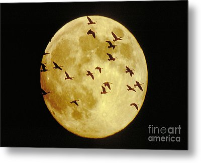 Canda Geese And Moon Metal Print by Kenneth Fink and Photo Researchers