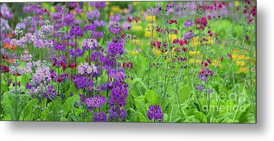 Candelabra Primula Panoramic Metal Print by Tim Gainey